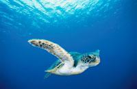 海中を泳ぐアオウミガメ