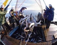 サケ定置網漁