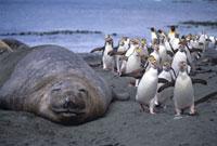 ロイヤルペンギンとミナミゾウアザラシ マッコーリー島