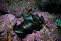 ネコザメの卵殻