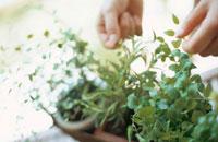 鉢植えのグリーンをさわる手元