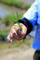 イネの苗を持つ農夫の手