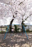 桜の木の下のプランコで遊ぶ女の子