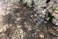 桜の木の下のプランコで遊ぶ子供2人