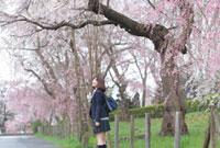 桜並木を見上げる女子高生
