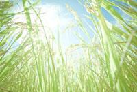 稲穂 山形県山形市 20010004394| 写真素材・ストックフォト・画像・イラスト素材|アマナイメージズ