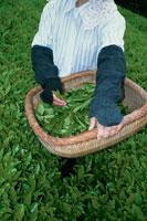 茶畑 20013005989| 写真素材・ストックフォト・画像・イラスト素材|アマナイメージズ