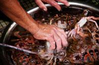上海蟹をつかむ手