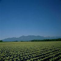レタス 20013021503| 写真素材・ストックフォト・画像・イラスト素材|アマナイメージズ