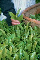 茶畑(長崎県)