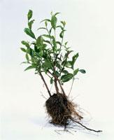 緑茶葉 20013023654  写真素材・ストックフォト・画像・イラスト素材 アマナイメージズ