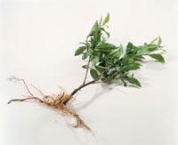 緑茶葉 20013023655  写真素材・ストックフォト・画像・イラスト素材 アマナイメージズ