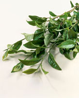 緑茶葉 20013023656  写真素材・ストックフォト・画像・イラスト素材 アマナイメージズ