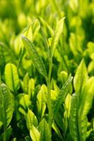 緑茶葉 20013025320  写真素材・ストックフォト・画像・イラスト素材 アマナイメージズ