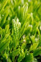 緑茶葉 20013025321  写真素材・ストックフォト・画像・イラスト素材 アマナイメージズ