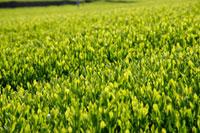 緑茶葉 20013025322  写真素材・ストックフォト・画像・イラスト素材 アマナイメージズ