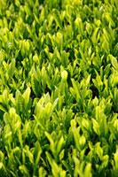 緑茶葉 20013025323  写真素材・ストックフォト・画像・イラスト素材 アマナイメージズ