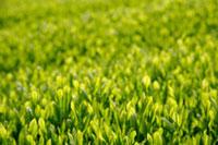 緑茶葉 20013025324  写真素材・ストックフォト・画像・イラスト素材 アマナイメージズ