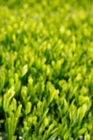 緑茶葉 20013025325  写真素材・ストックフォト・画像・イラスト素材 アマナイメージズ