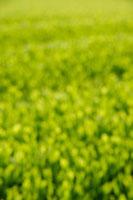 緑茶葉 20013025326  写真素材・ストックフォト・画像・イラスト素材 アマナイメージズ