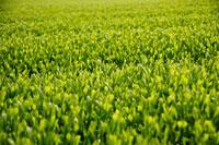 緑茶葉 20013025327  写真素材・ストックフォト・画像・イラスト素材 アマナイメージズ
