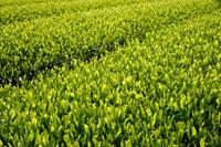 緑茶葉 20013025328  写真素材・ストックフォト・画像・イラスト素材 アマナイメージズ