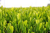 緑茶葉 20013025330  写真素材・ストックフォト・画像・イラスト素材 アマナイメージズ