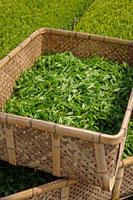緑茶葉 20013025332  写真素材・ストックフォト・画像・イラスト素材 アマナイメージズ