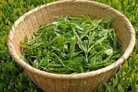 緑茶葉 20013025339  写真素材・ストックフォト・画像・イラスト素材 アマナイメージズ