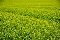 緑茶葉 20013025348  写真素材・ストックフォト・画像・イラスト素材 アマナイメージズ