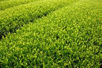 緑茶葉 20013025353  写真素材・ストックフォト・画像・イラスト素材 アマナイメージズ