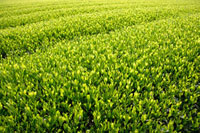 緑茶葉 20013025354  写真素材・ストックフォト・画像・イラスト素材 アマナイメージズ