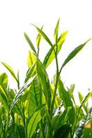 緑茶葉 20013025357  写真素材・ストックフォト・画像・イラスト素材 アマナイメージズ