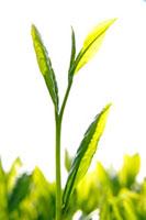 緑茶葉 20013025358  写真素材・ストックフォト・画像・イラスト素材 アマナイメージズ