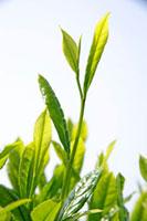 緑茶葉 20013025359  写真素材・ストックフォト・画像・イラスト素材 アマナイメージズ