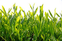 緑茶葉 20013025360  写真素材・ストックフォト・画像・イラスト素材 アマナイメージズ