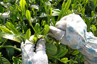 茶摘み 20013025363  写真素材・ストックフォト・画像・イラスト素材 アマナイメージズ