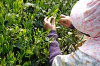 茶摘み 20013025366  写真素材・ストックフォト・画像・イラスト素材 アマナイメージズ