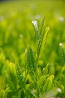 緑茶葉 20013025378  写真素材・ストックフォト・画像・イラスト素材 アマナイメージズ
