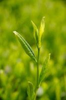 緑茶葉 20013025379  写真素材・ストックフォト・画像・イラスト素材 アマナイメージズ