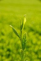 緑茶葉 20013025380  写真素材・ストックフォト・画像・イラスト素材 アマナイメージズ