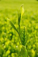 緑茶葉 20013025381  写真素材・ストックフォト・画像・イラスト素材 アマナイメージズ