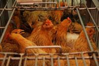 市場(鶏屋)