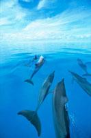 イルカの群れ 20014000140| 写真素材・ストックフォト・画像・イラスト素材|アマナイメージズ