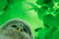 新緑の中のフクロウ