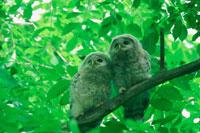 新緑の中の二匹のフクロウ