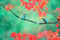 二羽のカワセミ 20014000183| 写真素材・ストックフォト・画像・イラスト素材|アマナイメージズ