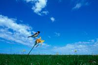 ノビタキと花