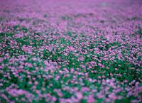 レンゲ畑 20014000265| 写真素材・ストックフォト・画像・イラスト素材|アマナイメージズ
