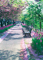 チューリップ咲く歩道
